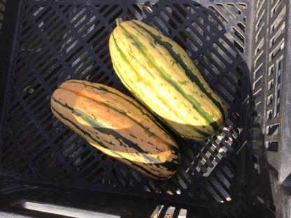 Imagen de Large Delicata Squash: For Pickup at Farm Friday, 3-6  p.m.