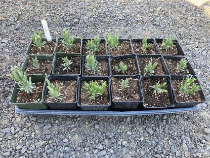 Imagen de Lavender Plant: For Pickup at Farm Friday, 3-6 p.m.